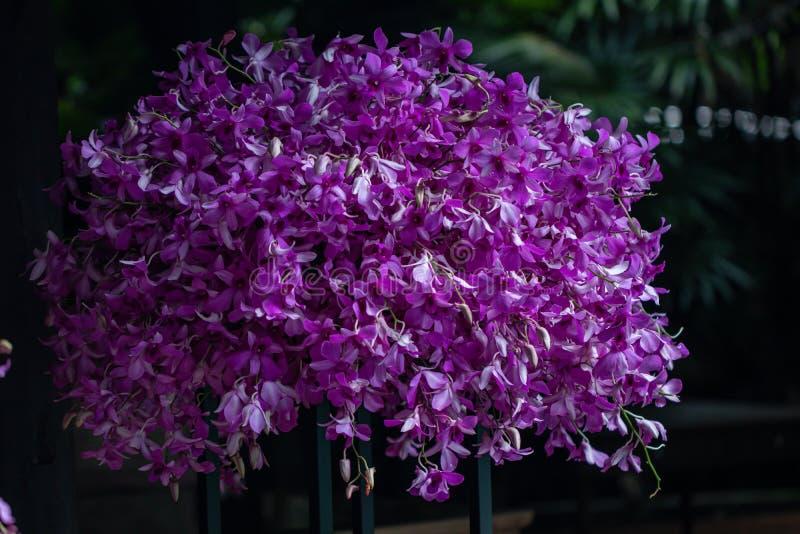 Fine sugli ibridi dell'orchidea del Dendrobium nel giardino Bella orchidea porpora del fuoco selettivo fotografie stock