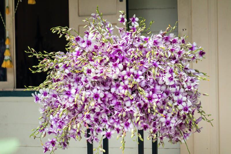 Fine sugli ibridi dell'orchidea del Dendrobium nel giardino Bella orchidea porpora del fuoco selettivo fotografia stock libera da diritti