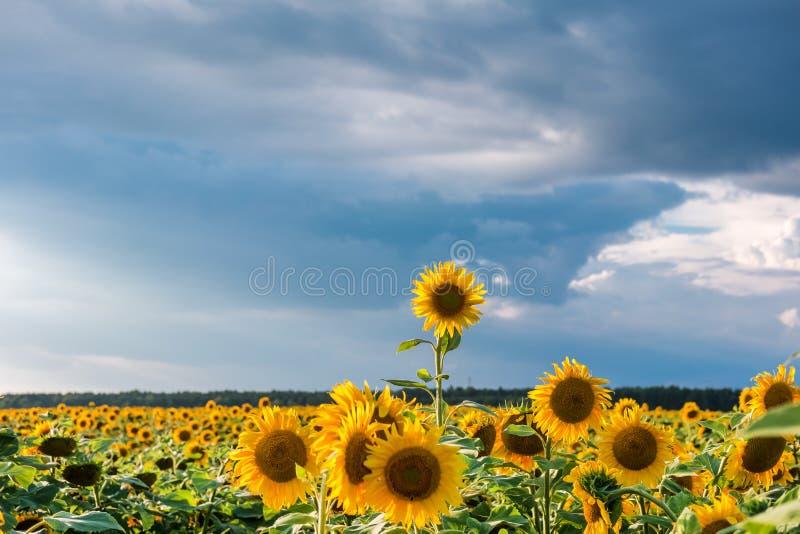 Fine sugli sbattimenti del girasole nel vento in cielo blu come fondo fotografia stock libera da diritti