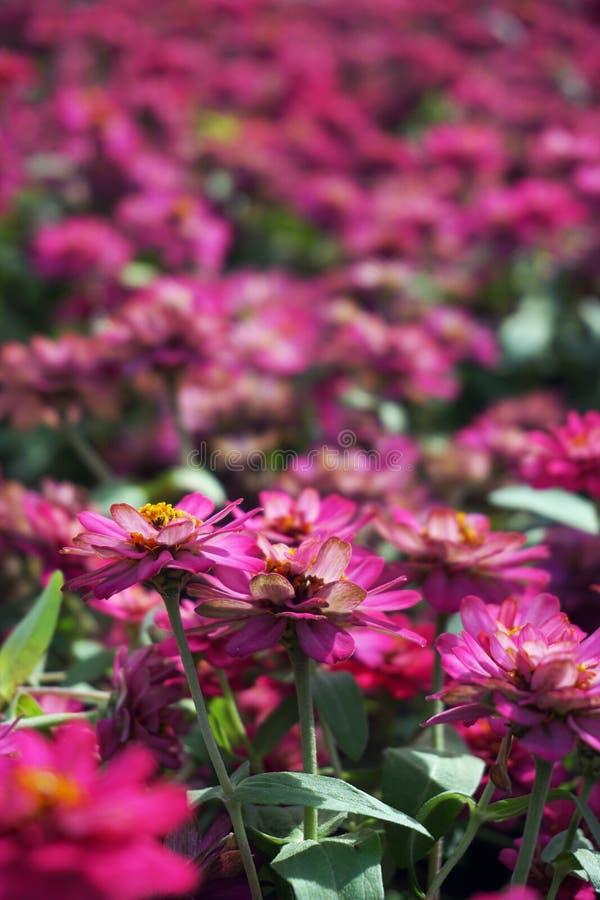 Fine sui piccoli fiori rosa fotografia stock