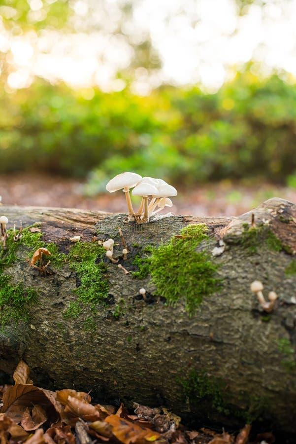 Fine sui piccoli funghi sull'albero di caduta con muschio in foresta autunnale alla luce posteriore di tramonto Dettagli stagiona immagini stock