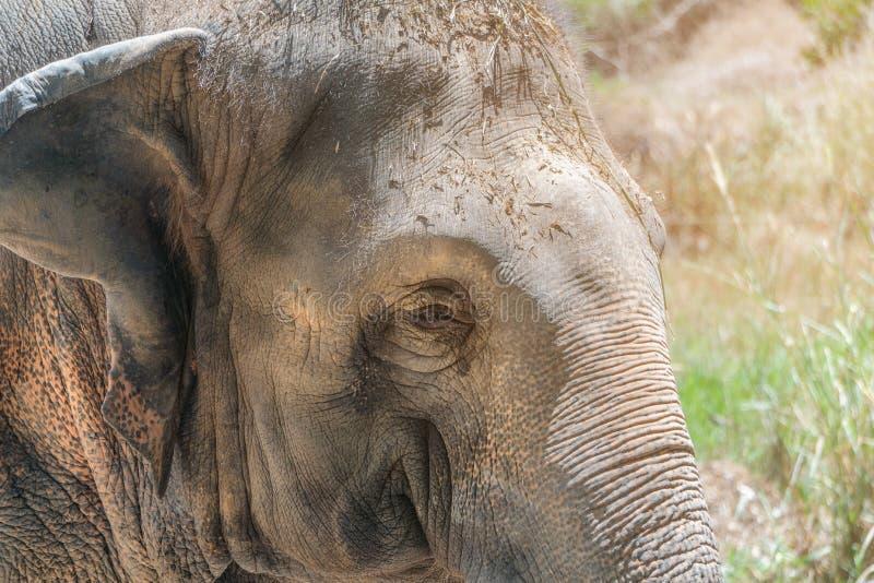 Fine sul bello giovane elefante asiatico femminile che prende il sole e che si rilassa di mattina sole Singoli clo del ritratto d immagini stock