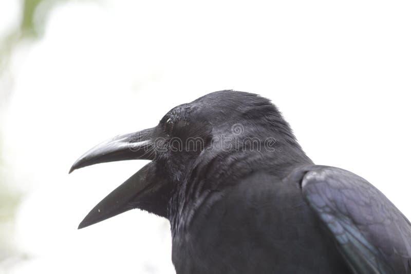 Fine sul corvo nero, corvo immagini stock libere da diritti