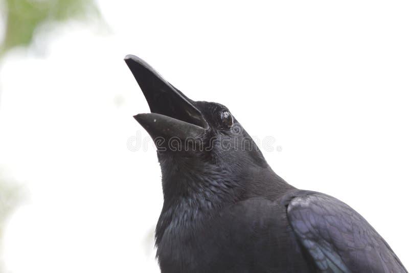 Fine sul corvo nero, corvo immagine stock
