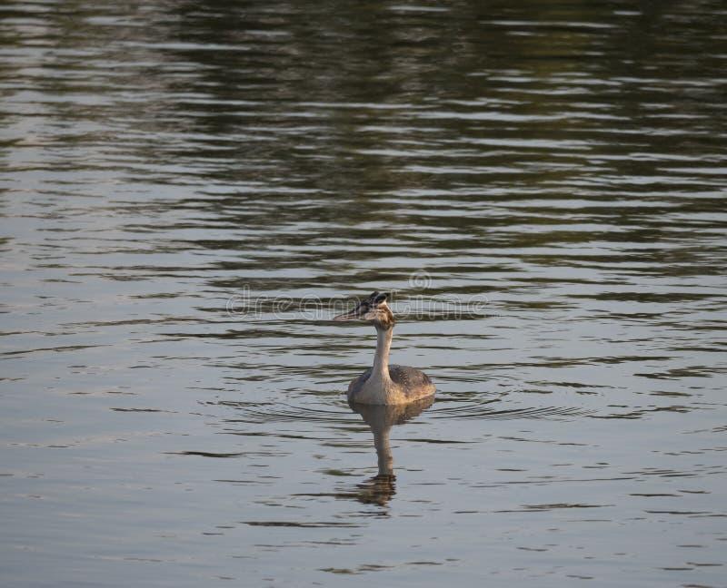 Fine sul giovane ducling sveglio dello svasso maggiore, nuoto di cristatus del Podiceps sull'acqua blu dello stagno del lago Ora  fotografia stock libera da diritti