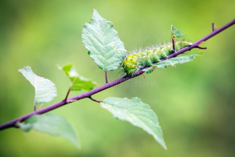 Fine sul grande verme verde che mangia la foglia sul ramo di albero fotografia stock