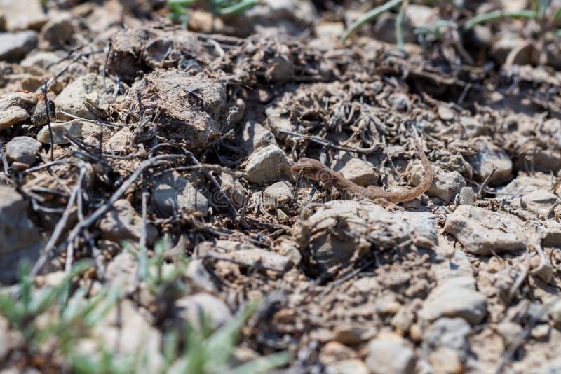 Fine sul piccolo genere Uguale-dalle dita sveglio Alsophylax del geco su terra immagini stock libere da diritti