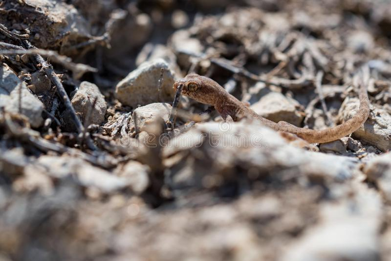 Fine sul piccolo genere Uguale-dalle dita sveglio Alsophylax del geco su terra fotografie stock libere da diritti