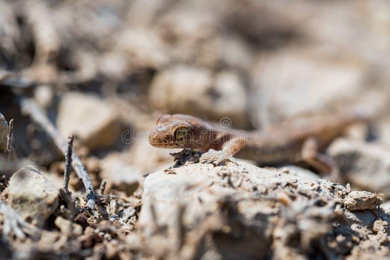 Fine sul piccolo genere Uguale-dalle dita sveglio Alsophylax del geco su terra fotografie stock