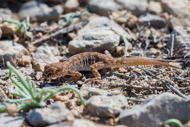 Fine sul piccolo genere Uguale-dalle dita sveglio Alsophylax del geco su terra fotografia stock libera da diritti