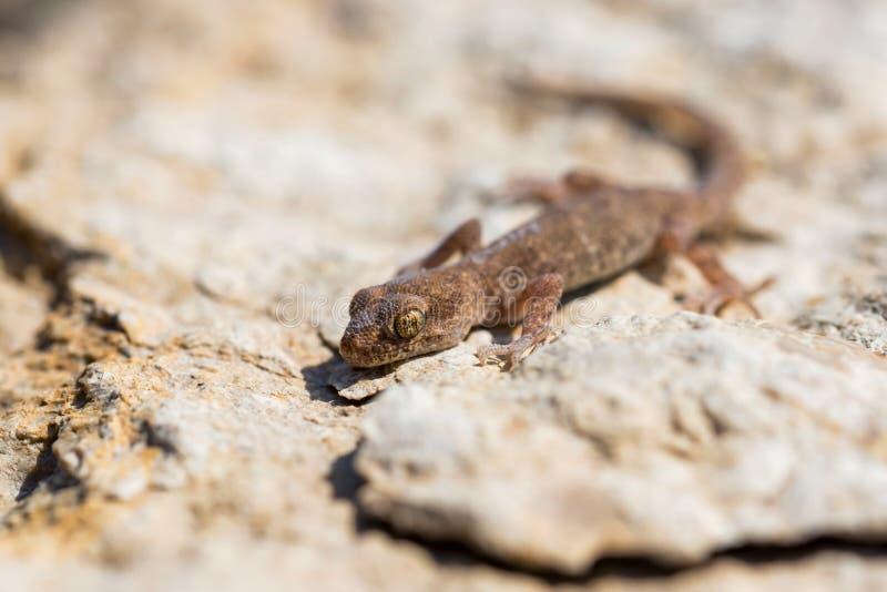 Fine sul piccolo genere Uguale-dalle dita sveglio Alsophylax del geco sulla pietra fotografia stock libera da diritti
