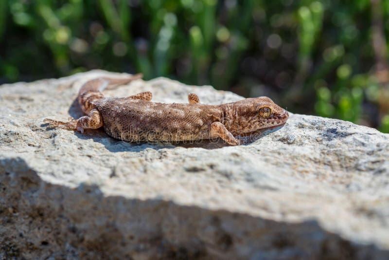 Fine sul piccolo genere Uguale-dalle dita sveglio Alsophylax del geco sulla pietra fotografia stock