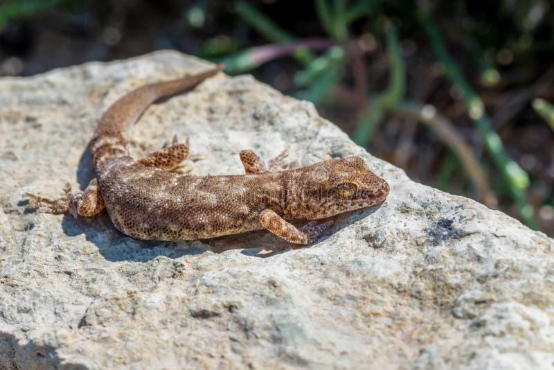 Fine sul piccolo genere Uguale-dalle dita sveglio Alsophylax del geco sulla pietra fotografie stock