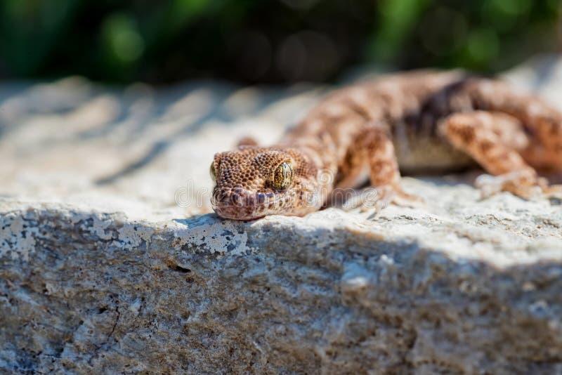 Fine sul piccolo genere Uguale-dalle dita sveglio Alsophylax del geco sulla pietra fotografie stock libere da diritti