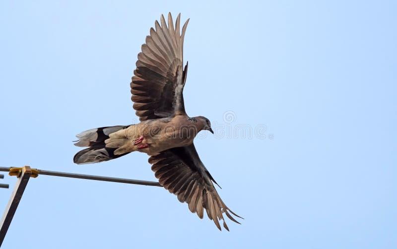 Fine sul volo macchiato della colomba nell'aria sul cielo fotografia stock