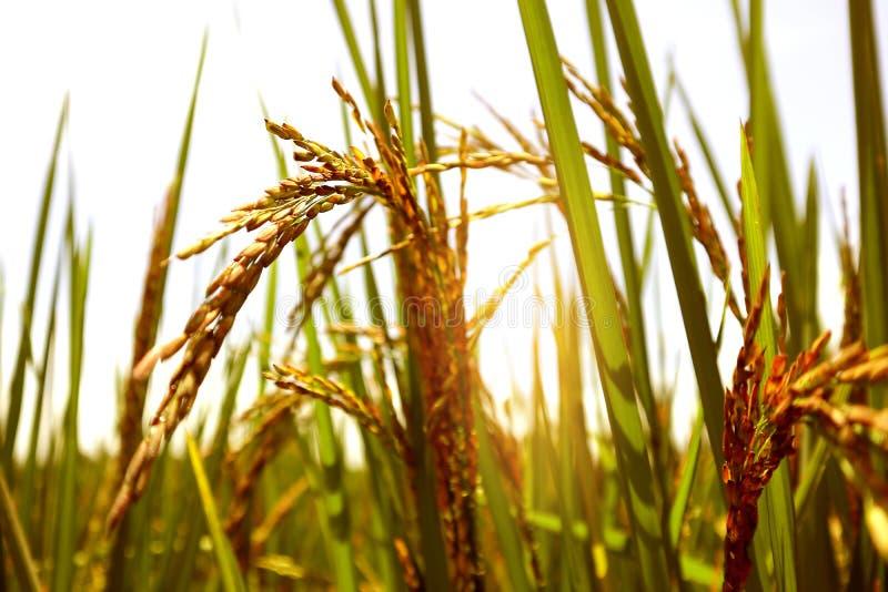 Fine sull'azienda agricola del riso del gelsomino, sulle foglie dorate e sulla fattoria della risaia nella mattina immagini stock