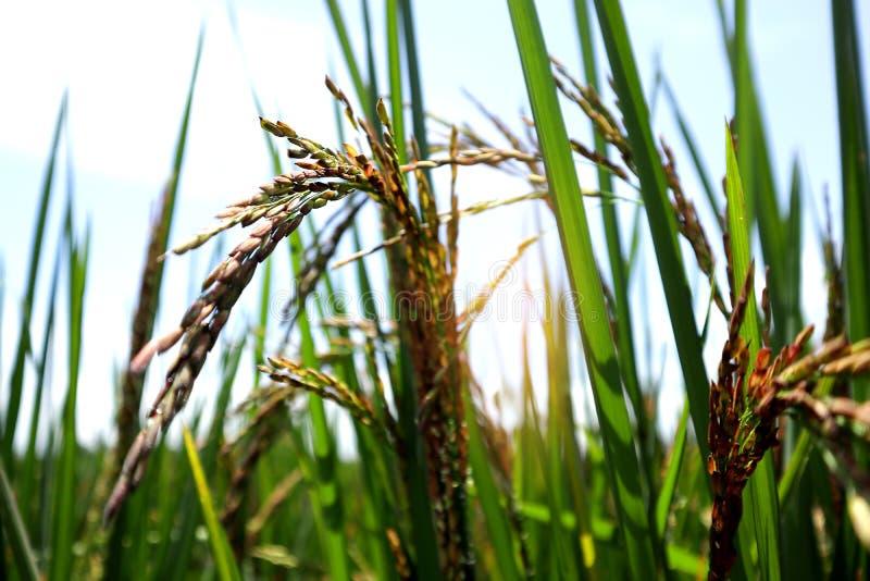 Fine sull'azienda agricola del riso del gelsomino, sulle foglie verdi fertili e sulla fattoria della risaia nella mattina fotografia stock