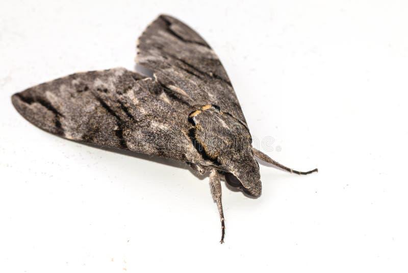 Fine sull'isolato grigio normale del lepidottero di falco su fondo bianco Increta di Psilogramma immagini stock libere da diritti