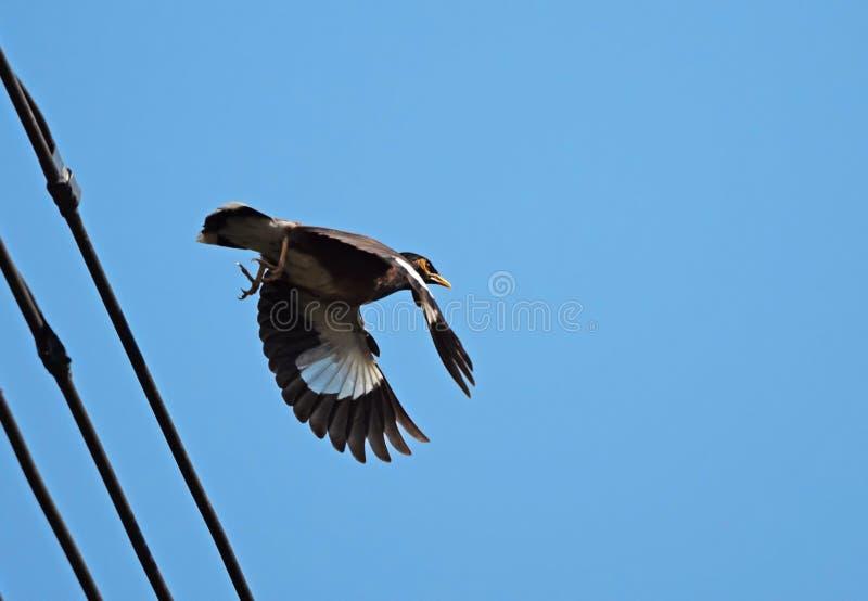 Fine sull'uccello di Mynah che sale nell'aria isolata su cielo blu immagini stock