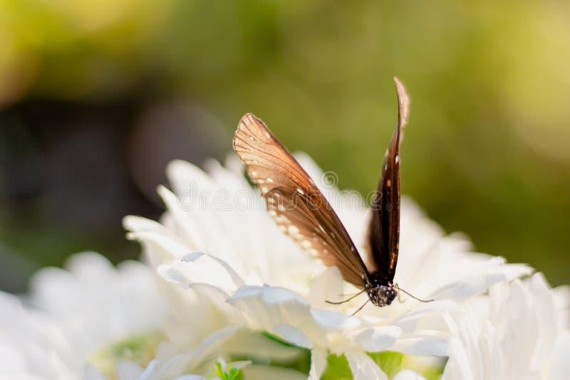 Fine sulla farfalla comune della tigre sul fiore bianco in giardino immagini stock libere da diritti