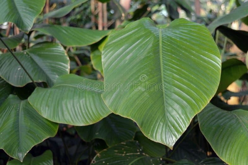 Fine sulla pianta gigante di Daniellii del taumatococco di Marantacea dell'Africano delle FO che contiene le proteine intensament fotografia stock libera da diritti