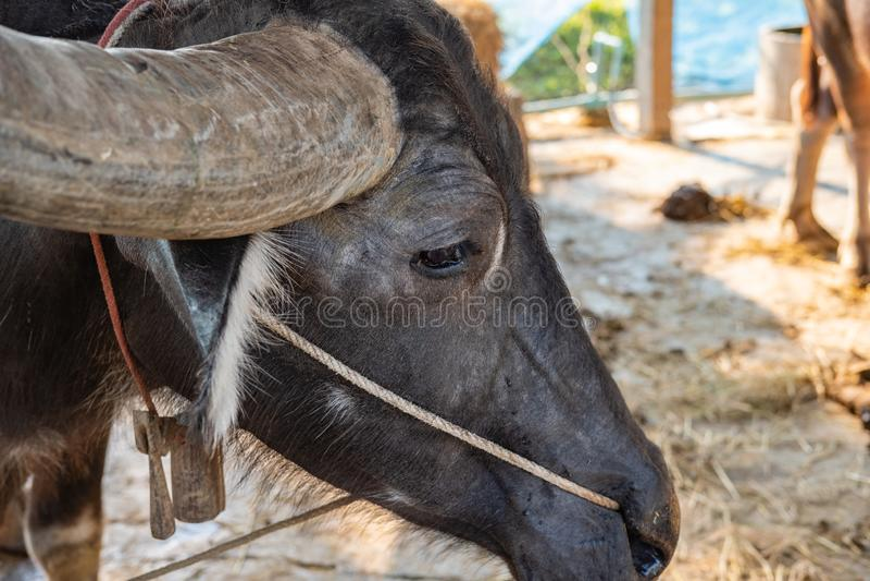 Fine sulla testa asiatica della Buffalo sparata nel villaggio della Buffalo, Tailandia immagini stock libere da diritti