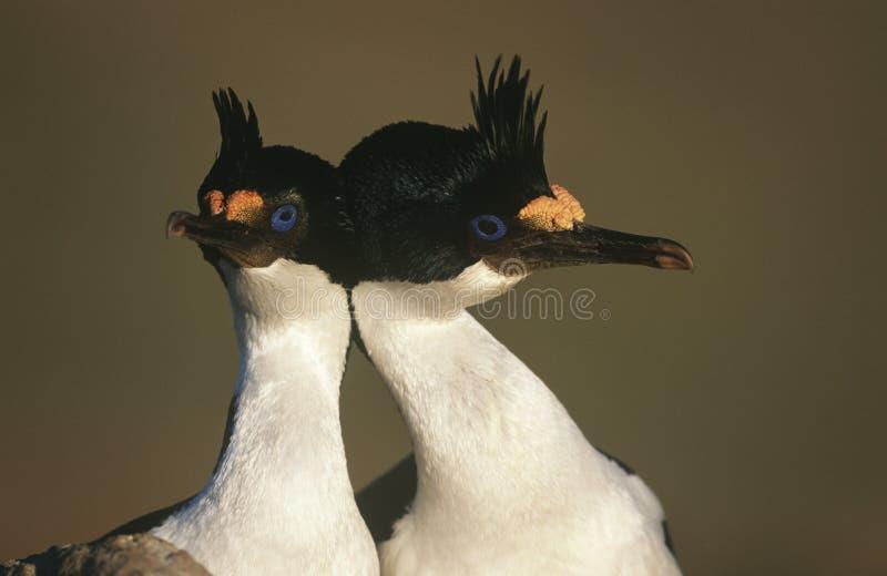 Fine testa a testa BRITANNICA di Falkland Islands King Cormorants su immagini stock