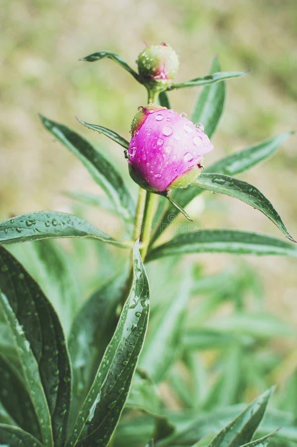 Fine variopinta del fiore della peonia su e gocce di pioggia, pioggia che cade sul fiore della peonia immagine stock libera da diritti