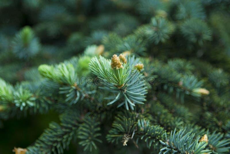 Fine verde del ramoscello della conifera su immagini stock libere da diritti