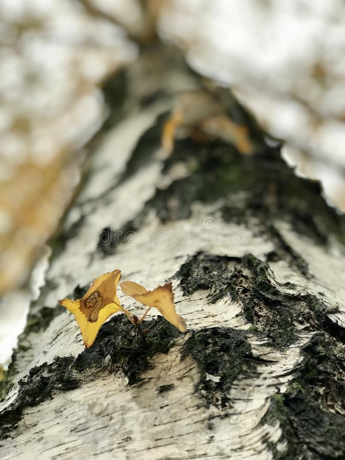 A fine white birch tree in autumn with yellow leaves. A birch is a thin-leaved deciduous hardwood tree of the genus Betula, in the family Betulaceae, which also stock photo