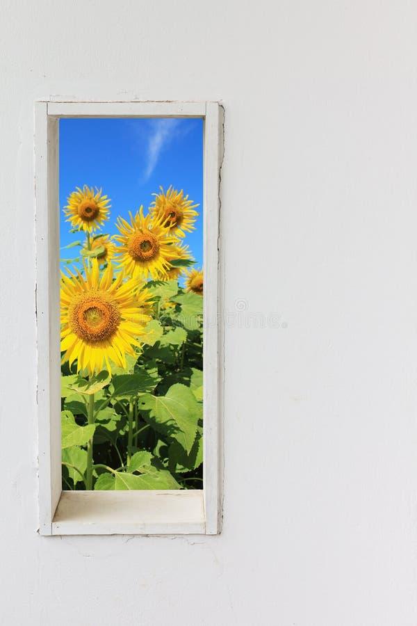 Finestra bianca della parete con il girasole sulla vista del cielo blu fotografie stock