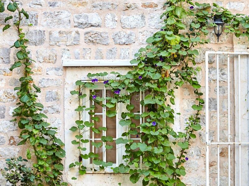 Finestra bianca Salita verde della pianta dell'edera sul vecchio mattone di pietra wal immagine stock