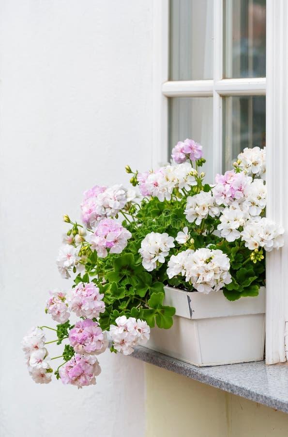 Finestra con fiori di pelargonio, dettagli decorativi esterni, fotografia stock