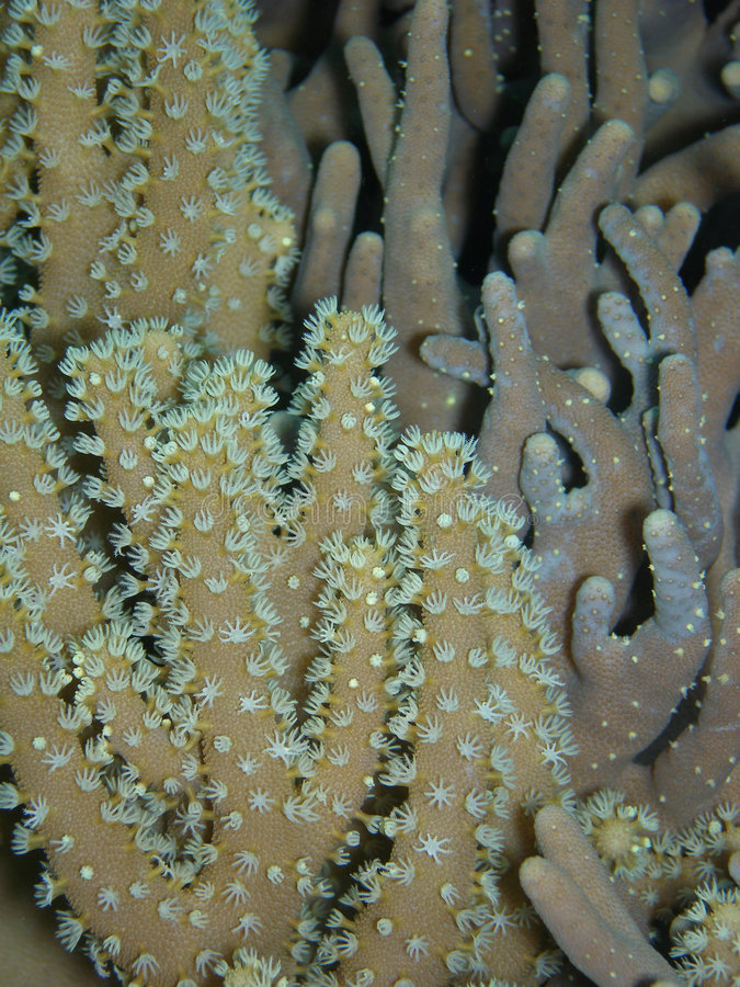 Finger Coral stock photography