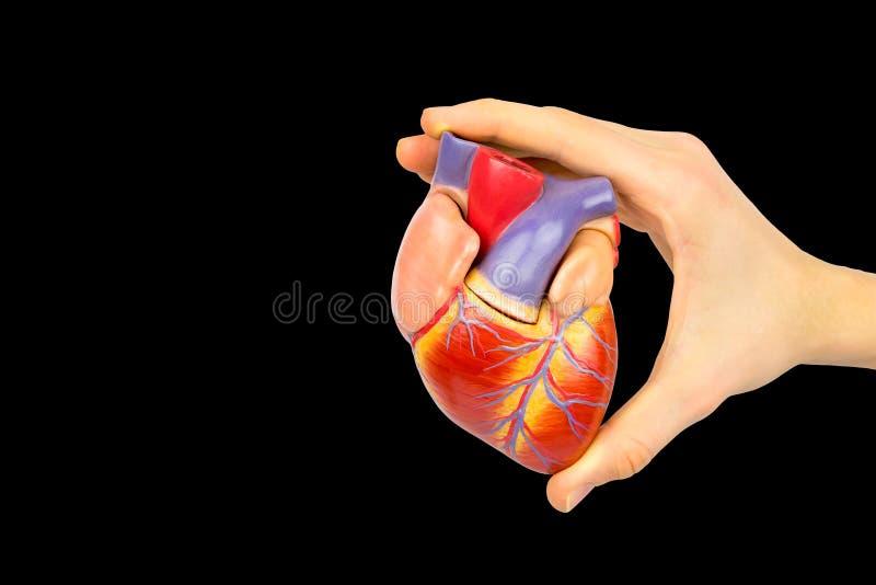 Finger, die menschliches Herzmodell auf schwarzem Hintergrund halten lizenzfreies stockbild