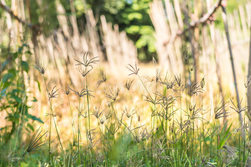 Finger grass. Field, urban landscape in Thailand royalty free stock photos
