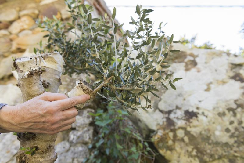 Grafting of an olive tree royalty free stock image