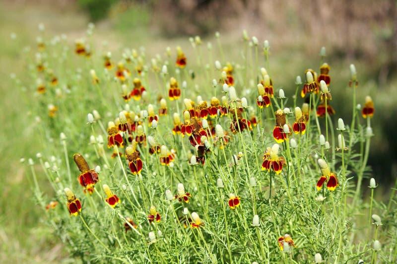 Fingerborgblomma också som är bekant som den mexicanska hatten, blom i Texas Långa spinkiga stammar med gul och orange blom fotografering för bildbyråer
