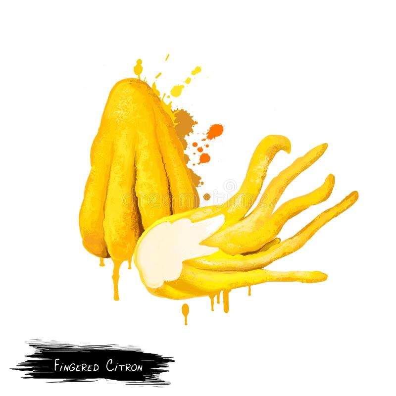 Fingered citron. Citrus medica. Buddha`s hand. botanical. Fingered citron isolated on white. Buddha`s hand, Citrus medica var. sarcodactylis, or the fingered royalty free illustration