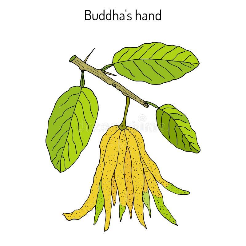 Fingered citron , Citrus medica , or Buddha s hand - exotic fruit. Hand drawn botanical vector illustration vector illustration
