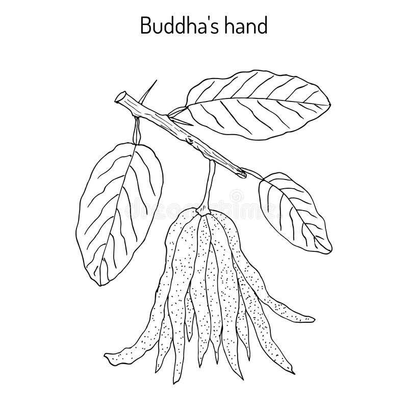 Fingered citron , Citrus medica , or Buddha s hand - exotic fruit. Hand drawn botanical vector illustration stock illustration