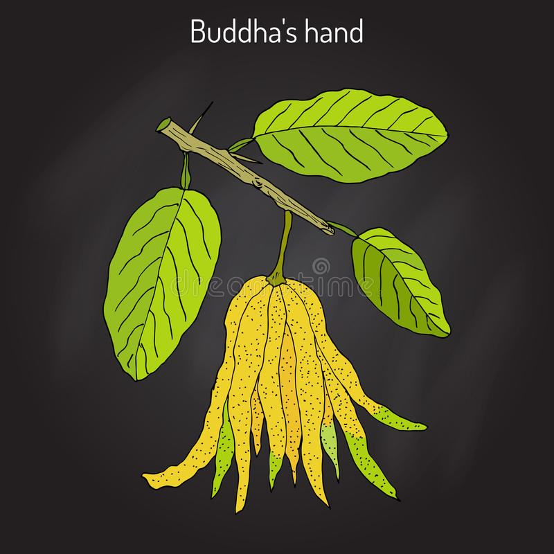Fingered citron , Citrus medica , or Buddha s hand - exotic fruit. Hand drawn botanical vector illustration royalty free illustration