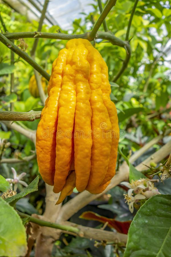 Fingered citron fruit. In green leavy back stock photos