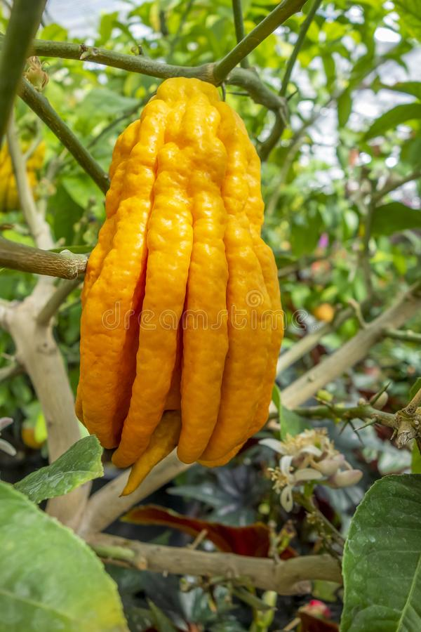 Fingered citron fruit. In green leavy back stock photography