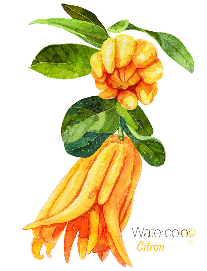 Fingered citron isolated on white. Buddha`s hand, Citrus medica or the fingered citron.Digital art illustration.Exotic fruit. Hand drawn botanical illustration vector illustration