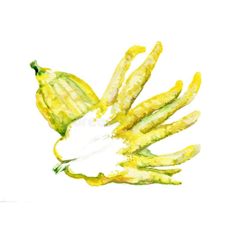 Fingered Citron. Watercolor Fingered Citron. Hand Drawn Illustration Organic Food Vegetarian Ingredient vector illustration