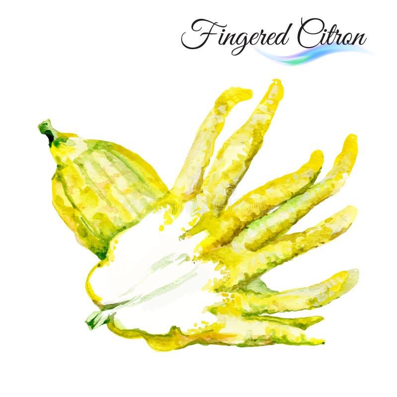 Fingered citron. Watercolor fingered citron on white background stock illustration