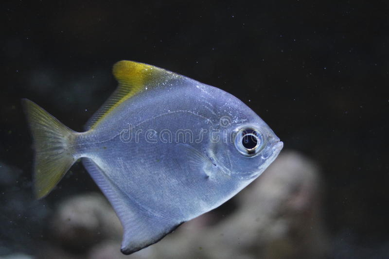 fingerfish στοκ εικόνες