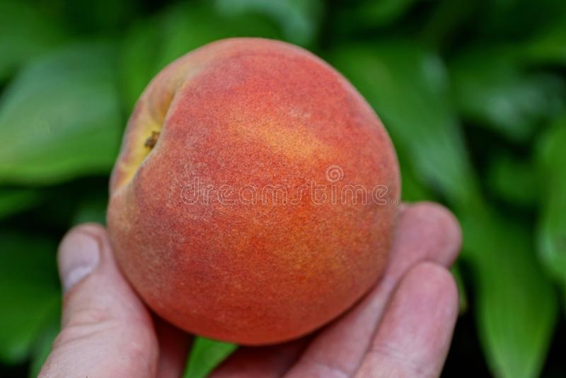 Fingers hold ripe red fresh peach royalty free stock images