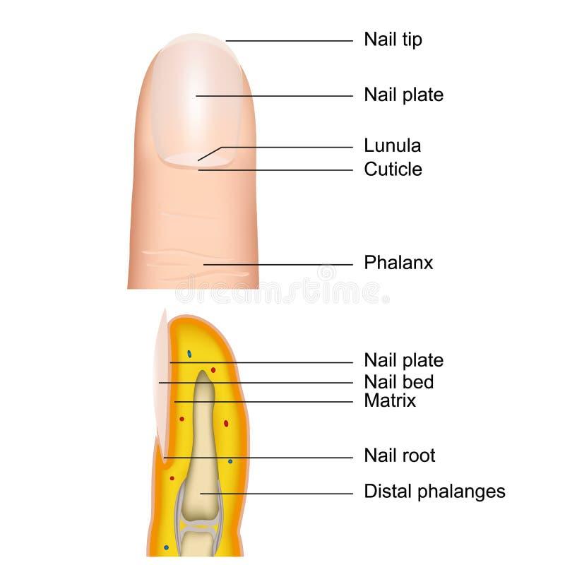 Fingret spikar anatomi, den medicinska vektorillustrationen som isoleras på vit bakgrund med beskrivning stock illustrationer